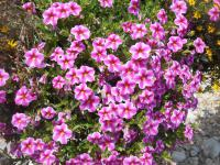 Mini petunia Calibrachoa  'Callie Star Pink'