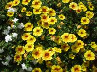 Calibrachoa  'Calita Yellow Red Morn' - Mini petunia