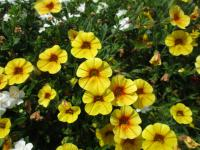 (Calibrachoa) Kalibrachoa Calita Yellow Red Morn