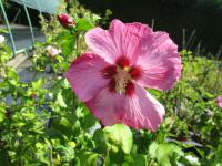 Hibiscus syriacus  'Aphrodite' - Rose of Sharon