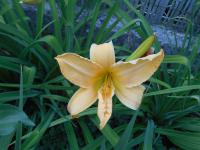 Hemerocallis hybrida  'Big World' - Daylily