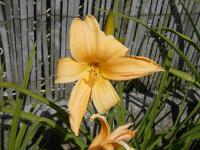 Denivka Big World (Hemerocallis hybrida)