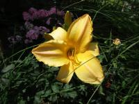 Hemerocallis      'Big World'  Daylily flowers