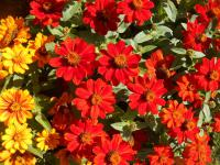 Ostálka marylandská Zahara Fire (Zinnia maryladica)