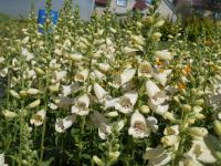 Digitalis purpurea  'Virtuoso Cream'  Foxglove plant