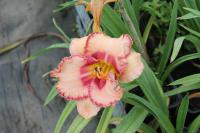 Hemerocallis hybrida 'New Quest'  Daylily flowers
