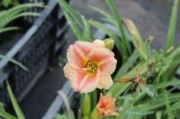 Hemerocallis 'Little Anna Rosa'  Daylily flowers