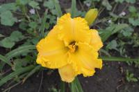 Hemerocallis hybrida 'Hidden Riches'  Daylily flowers