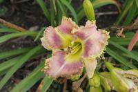 Hemerocallis 'Wise Whiskers'  Daylily flowers