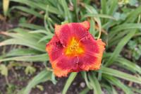 Hemerocallis 'Orange City'  Daylily flowers