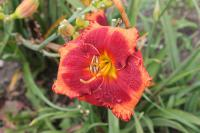 Denivka Orange City (Hemerocallis hybrida)
