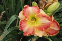 Hemerocallis hybrida  'Bells and Whistles' - Daylily