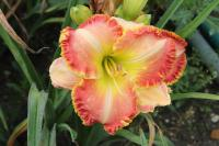 Hemerocallis  'Bells and Whistles'  Daylily flowers