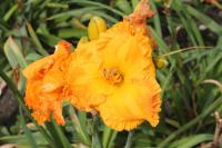 Hemerocallis 'Over Heated'  Daylily flowers