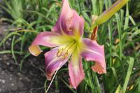 Hemerocallis hybrida 'Twirling Tower'  Daylily flowers