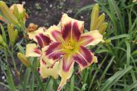 Hemerocallis   'Dimensional Shift'  Daylily flowers