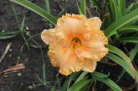 Hemerocallis hybrida  'Pineapple Moon' - Daylily