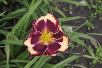 Hemerocallis   'The Dark Side'  Daylily flowers