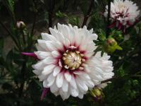 Dahlia      'Rebeccas World'  Dahlia flowers