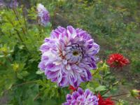 Dahlia  'Optic Illusion'  Dahlia flowers