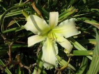 (Hemerocallis hybrida) Denivka Heavenly White Lightening