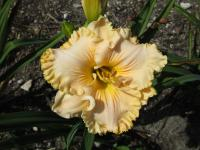 (Hemerocallis hybrida) Denivka 'Sweet Apricot Honey'