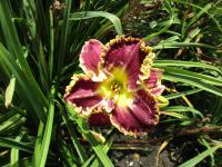 (Hemerocallis hybrida) Denivka When Royals Dream