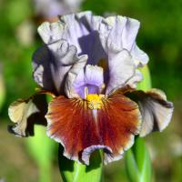 Iris 'Man's Best Friend'  Iris flowers