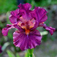 Iris Iris  'Revved up Rose'