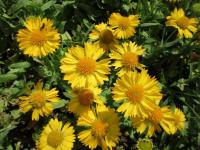 Gaillardia aristata  'Mesa Yellow' - gailliardia