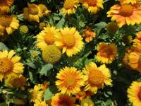 Gaillardia aristata  'African Sunset' - gailliardia