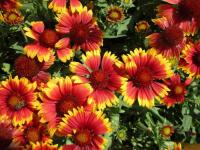 Gaillardia aristata     'Arizona Sun'  gailliardia flowers