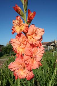 Gladiolus 'Orange Joker'  Gladiolus flowers