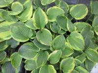 Hosta  'Abiqua Moonbeam'  Plantain Lily plant