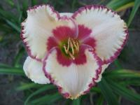 Hemerocallis  'Ageless Beauty' - Daylily