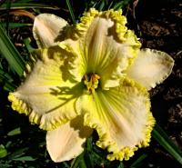 Daylily Hemerocallis  'Summer Beach'