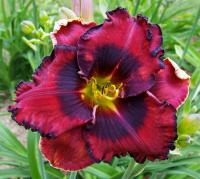 Daylily Hemerocallis  'The Band Playet On'