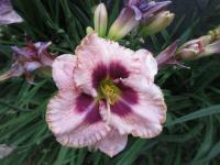 Hemerocallis     'Daring Deception'  Daylily flowers