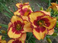 Hemerocallis  'Andy Candy'  Daylily flowers