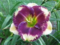 Daylily Hemerocallis  'Answering Angels'