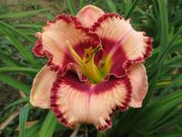 Hemerocallis   'Lies and Lipstick' - Daylily