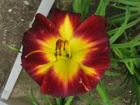 (Hemerocallis hybrida) Denivka Persian Ruby