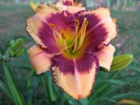 Daylily Hemerocallis  'Pirate's Patch'