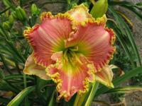Hemerocallis  'Princess Diana'  Daylily flowers