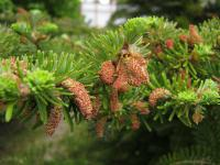 Abies koreana   Korean fir flowers