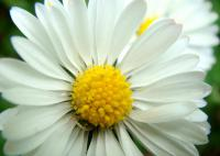 Bellis perennis   English Daisy flowers