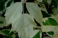 Acer negundo      'Flamingo'  boxelder leaves