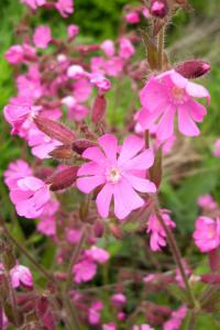 Silene dioica   Red Campion flowers