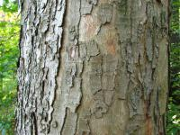 Acer pseudoplatanus   sycamore maple ross or bark