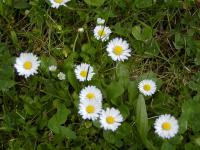 Bellis perennis   - English Daisy